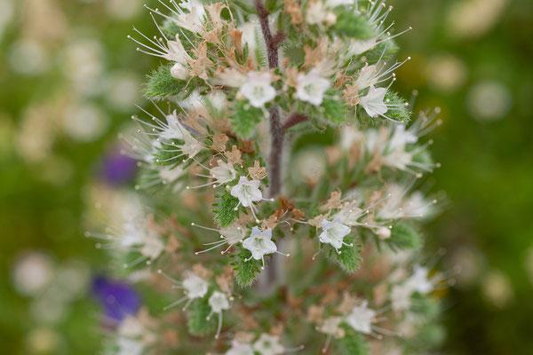 31.05. Fotostopp in der Balagne nahe Belgodère; Echium italicum - Natterkopf