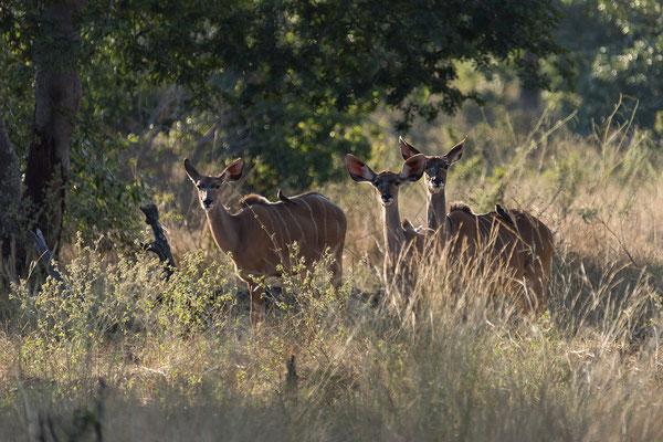 29.4. Bwabwata NP/Kwando Core Area, Kudus - Tragelaphus strepisceros