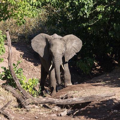 Elefant, nicht entspannt