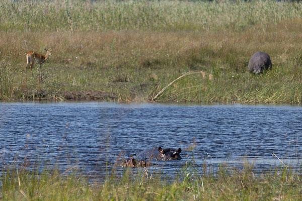 29.4. Bwabwata NP/Kwando Core Area, Flusspferde - Hippopotamus amphibius