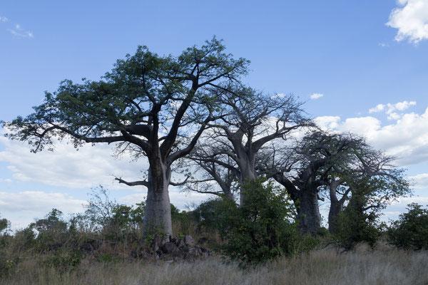 05.05. Chobe NP; Baobab - Adansonia digitata