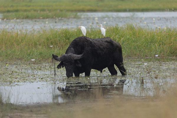 25.4. Mahango Game Reserve, Büffel - Syncerus caffer