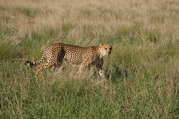 11.2. Auf Bagatelle leben 3 männliche Geparde des Cheetah Conservation Fund