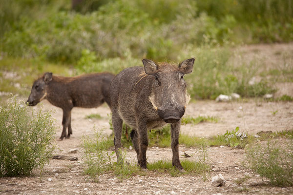 26.2. Etosha - Warzenschwein (Phacochoerus africanus)