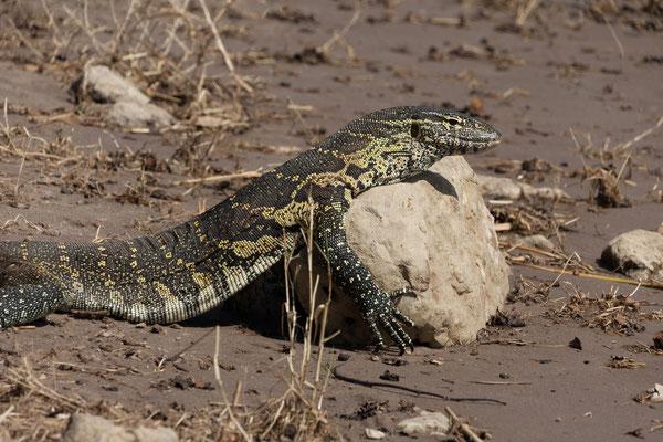 03.05. Chobe NP (Riverfront), Nilwaran - Varanus niloticus