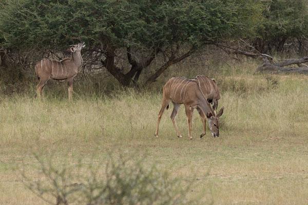 25.4. Mahango Game Reserve, Kudu - Tragelaphus strepisceros