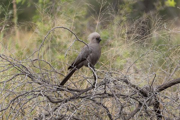 25.4. Mahango Game Reserve, Graulärmvogel - Corythaixoides concolor
