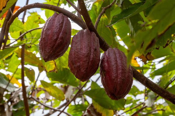 Grenada Chocolate Company, Kakao!