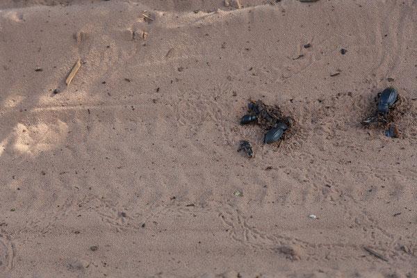 26.4. Bwabwata NP/Kwando Core Area; wir versuchen die Käfer auszuweichen, das gelingt nicht immer allen Fahrzeugen.