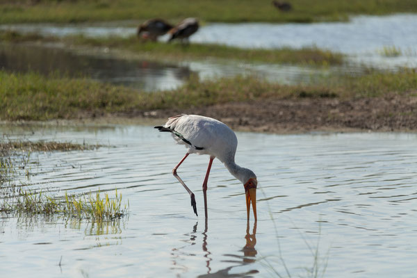 09.05. Moremi GR; Yellow-billed stork - Mycteria ibis