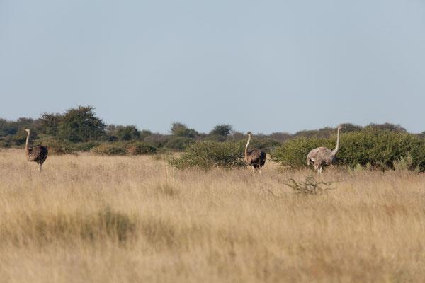 11.05. Nxai Pan NP: 1970 wurde das Gebiet um die Nxai Pan als Wildreservat deklariert und 1992 um das Areal rund um die Kudikam Pan erweitert und zu einem 2578 qkm großen Nationalpark erhoben.