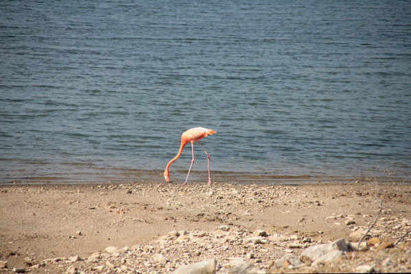 Gotomeer: Flamingo
