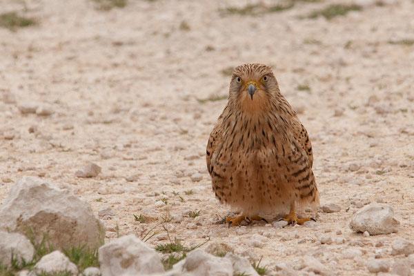 24.2. Etosha - Greater kestrel (Falco rupicoloides)