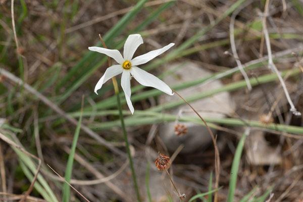 20.09. Kap Oštro, Halbinsel Prevlaka (Spätblühende Narzisse - Narcissus serotinus)