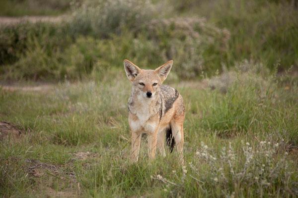 24.2. Etosha - Schabrackenschakal (Canis mesomelas)