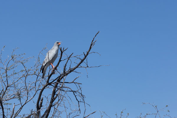 12.05. Nxai Pan NP, Pale chanting goshawk - Melierax canorus