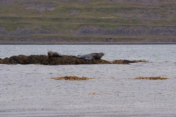 9.8. Westfjorde - Seehunde beim Gehöft Litlibær