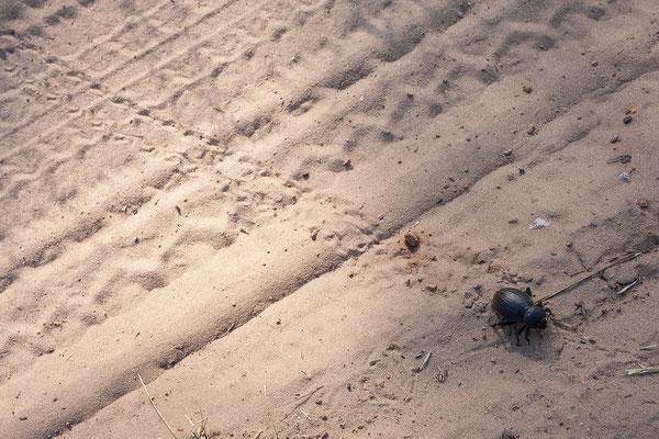26.4. Bwabwata NP/Kwando Core Area; in den Sandspuren auf der Pad befinden sich jede Menge Käfer