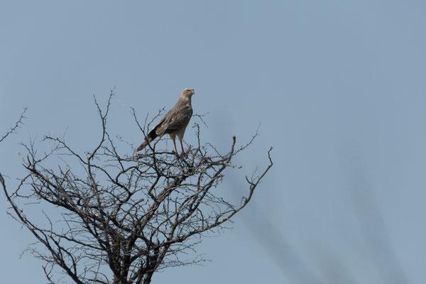 11.05. Nxai Pan NP, Pale chanting goshawk - Melierax canorus