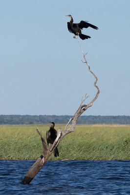 02.05. Bootstour auf dem Chobe, African darter - Anhinga rufa