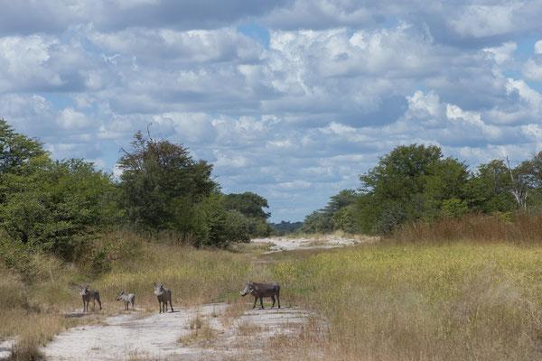 04.05. Chobe NP; an manchen Stellen der Pad erinnern Tümpel mit vielen Pflanzen an die gute Regenezeit. Warzenschweine - Phacochoerus africanus