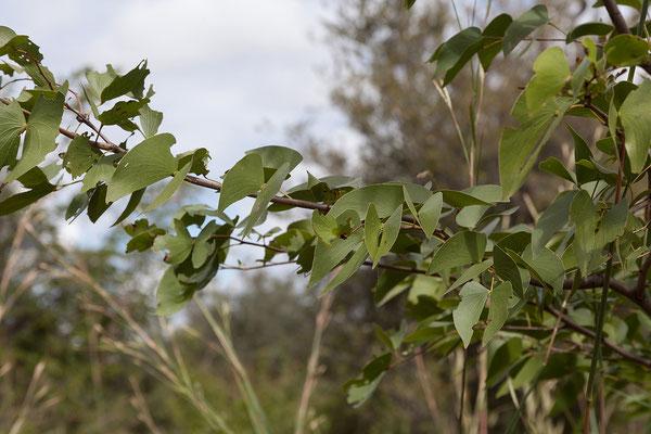 28.4. Mudumu NP; Mopane - Colophospermum mopane