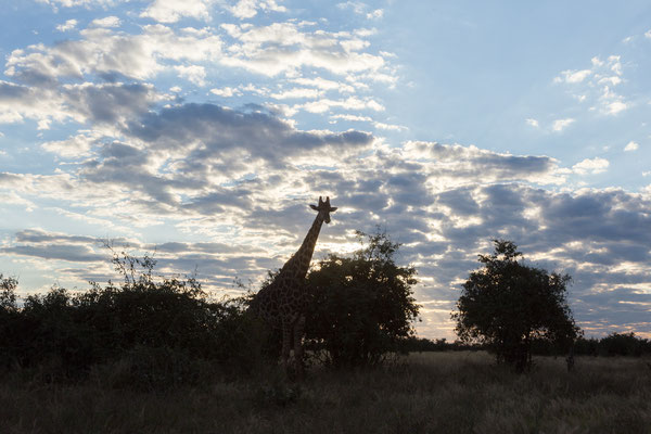 06.05. Chobe NP; Giraffe - Giraffa camelopardalis