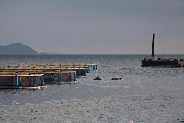 10.09. In der Bucht von Santa Manza kommen oft Delphine zu den Fischzuchten.