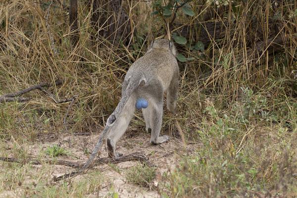 25.4. Mahango Game Reserve, Grünmeerkatze - Cercopithecus aethiops