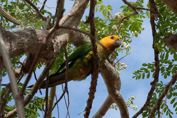 Casa Bonito - Frühstücksgast (Aratinga pertinax, Caribbean Parakeet)