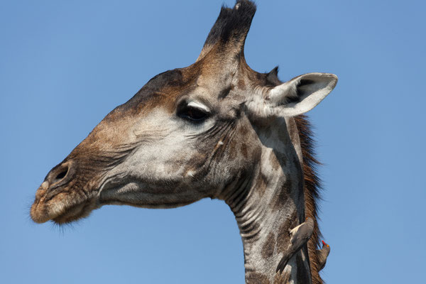 10.05. Moremi GR - Giraffa camelopardalis mit Madenhacker (Red-billed oxpecker - Buphagus erythrorhynchus)