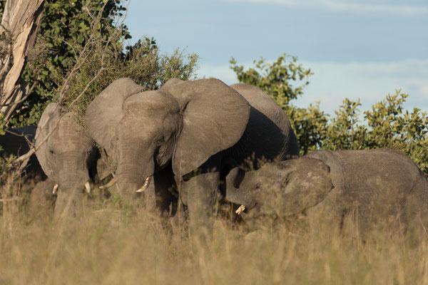 05.05. Chobe NP; im schönsten Abendlicht treffen wir auf eine Elefantenherde - Loxodonta africana.