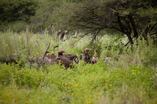 26.2. Etosha - Torgos vulture (Ohrengeier)