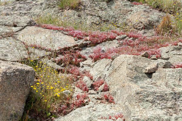 30.05. Weiter fahren wir durch die Balagne; Sedum brevifolium