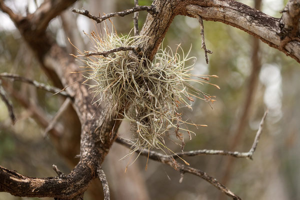 Washington Slaagbai National Park - Tillandsia recurvata