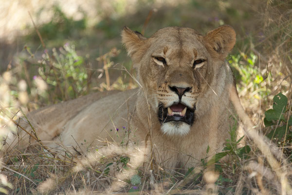 06.05. Chobe NP; Löwe - Pantera leo
