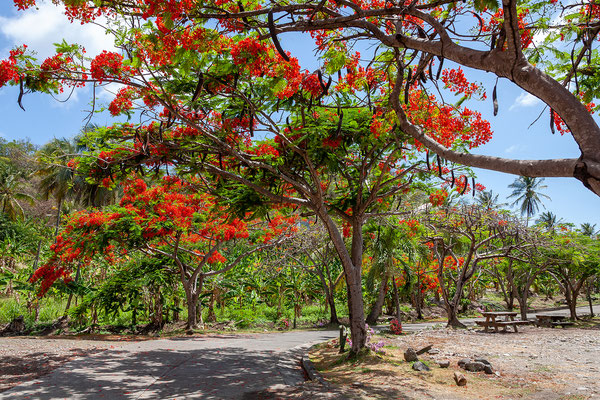 River Antoine Rum Distillery, Flamboyant Baum