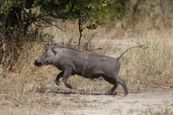 07.05. Chobe NP; Warzenschwein - Phacochoerus africanus
