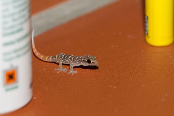 Casa Bonito -Hausgast (Phyllodactylus martini, juveniler Gecko)