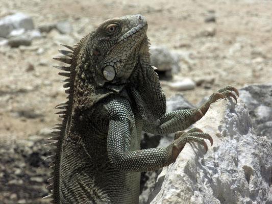 """Ein grüner Leguan erwartet uns an Land bei """"Andrea I"""""""