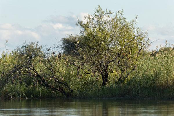 23.4. Bootsfahrt auf dem Kavango: Webervogelnester