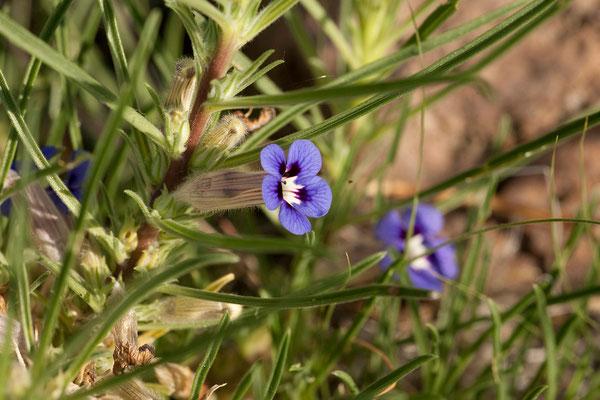 19.2. Aptosimum spinescens