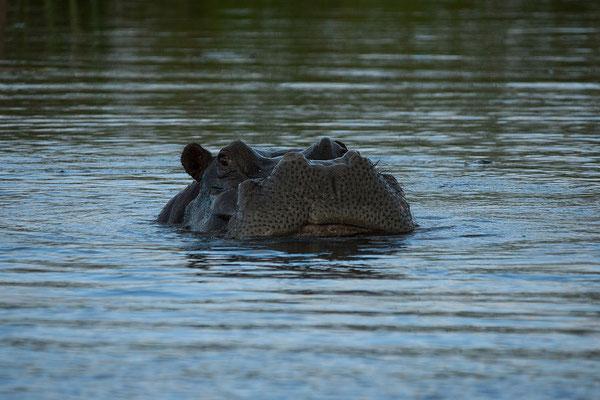 27.4. Mavunje - Bootstour; Flusspferd - Hippopotamus amphibius