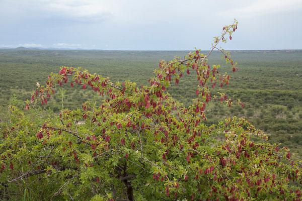 24.2. Ugab Terrace Lodge - Blutfruchtbaum (Terminalia prunioides)