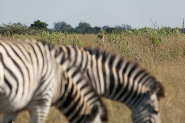10.05. Moremi GR; hinter den Zebras entdecken wir einen Geparden (Acinonyx jubatus)