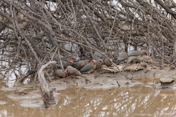 25.4. Mahango Game Reserve, Common waxbill - Estrilda astrild