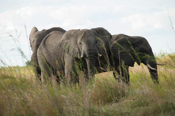 27.4. Mavunje - Bootstour; Elefanten- Loxodonta africana