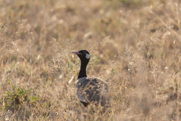 11.05. Nxai Pan NP, Northern black korhaan - Afrotis afraoides