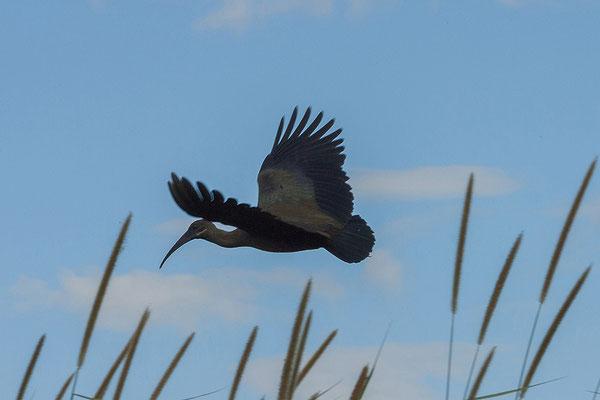 27.4. Mavunje - Bootstour; Heiliger Ibis - Threskiornis aethiopicus