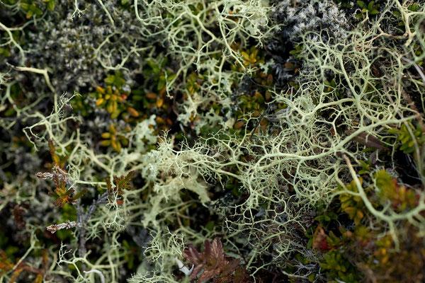 3.8. Holmantungur - Islandmoos (Cetraria islandica)